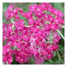 Achillea 'Rose Madder' (3 for £10)