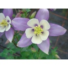 Aquilegia 'Songbird Blue and White' (3 for £10)
