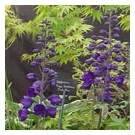 Delphinium 'Magic Fountains Dark Blue' (3 for£10)