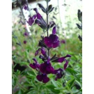 Salvia Midnight
