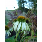 Echinacea 'White Swan' (3 for £10)