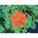 Geum borisii (3 for £10)