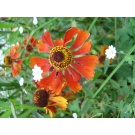 Helenium 'Moerheim Beauty' (3 for£10)