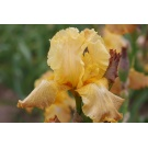 Iris 'Butterscotch Kiss'