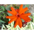 Lychnis 'Vesuvius' (3 for £10)