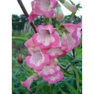 Penstemon 'Flamingo' (3 for £10)