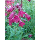 Penstemon 'Garnet' AGM (3 for £10)