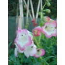 Penstemon 'Osprey' (3 for £10)