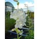 Penstemon 'White Bedder' (3 for £10)