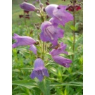 Penstemon 'Woodpecker'