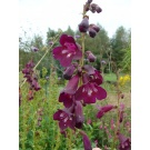 Penstemon 'Raven' (3 for £10)