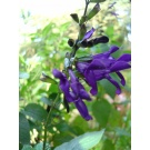 Salvia 'Amistad' (3 for £12)