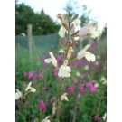 Salvia microphylla 'Trelissick' (3 for £12)