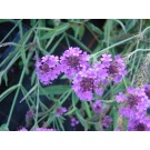Verbena rigida (3 for £10)