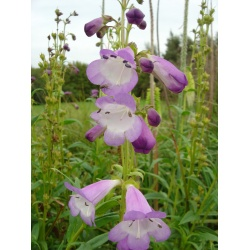 Penstemon 'Alice Hindley' AGM (3 for £10)