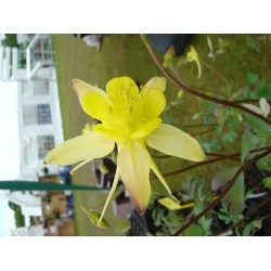 Aquilegia 'Yellow Queen'