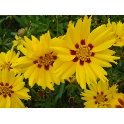 Coreopsis 'Sterntaler' (3 for £10)