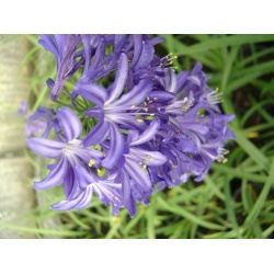 Agapanthus 'Headbourne Hybrids' (3 for £13.50)
