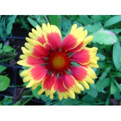 Gaillardia 'Goblin' (3 for £10)