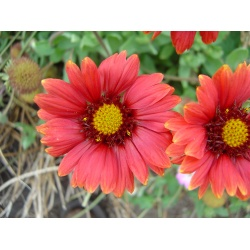 Gaillardia 'Arizona Red Shades' (3 for £10)