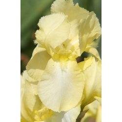 Iris 'Lemon Ice'