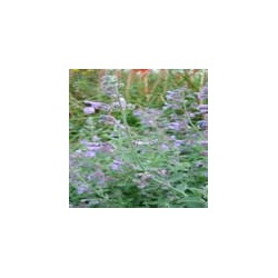 Nepeta 'Six Hills Giant' (3 for £10)