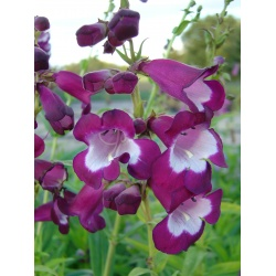 Penstemon 'Charles Rudd'