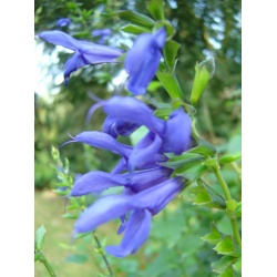 Salvia guaranitica 'Blue Enigma'